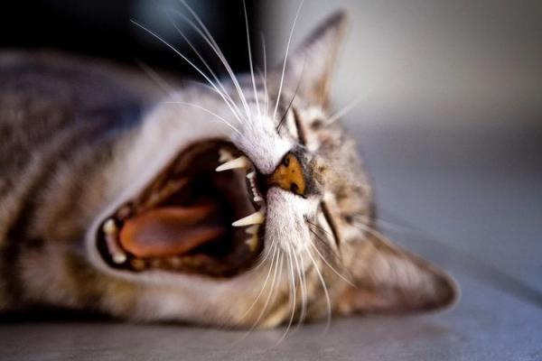 Молочные зубы у кошек: есть ли, выпадают ли и когда - Это интересно