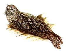 Обыкновенный тюлень,  курильский подвид – Красная книга – кратко описание, фото