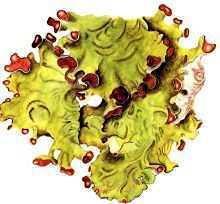 Нефромопсис Комарова – Красная книга – кратко описание, фото