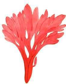 Мембраноптера густоразветвленная – Красная книга – кратко описание, фото