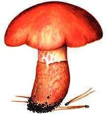 Перечень грибов, занесенных в Красную книгу РФ – Красная книга – кратко описание, фото