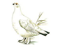 Среднерусская белая куропатка - Красная книга - кратко описание, фото