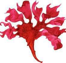 Мазелла листоплодная – Красная книга – кратко описание, фото