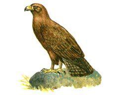 Степной орел – Красная книга – кратко описание, фото