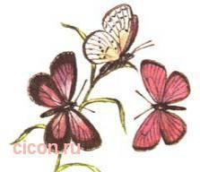 Голубянка ореас – Красная книга – кратко описание, фото
