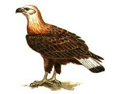 Орлан - долгохвост - Красная книга - кратко описание, фото