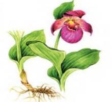Венерин башмачок крупноцветковый – Красная книга – кратко описание, фото