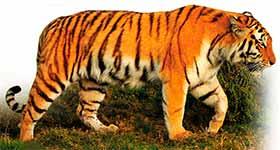 Амурский тигр – Красная книга – кратко описание, фото