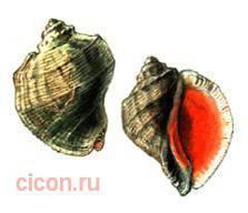 Рапана томаса – Красная книга – кратко описание, фото