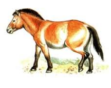 Лошадь пржевальского – Красная книга – кратко описание, фото