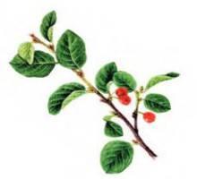 Кизильник алаунский – Красная книга – кратко описание, фото