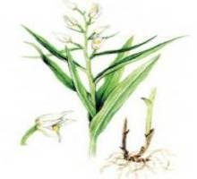 Пыльцеголовник длинноприцветниковый – Красная книга – кратко описание, фото