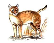 Кавказский камышовый  кот – Красная книга – кратко описание, фото