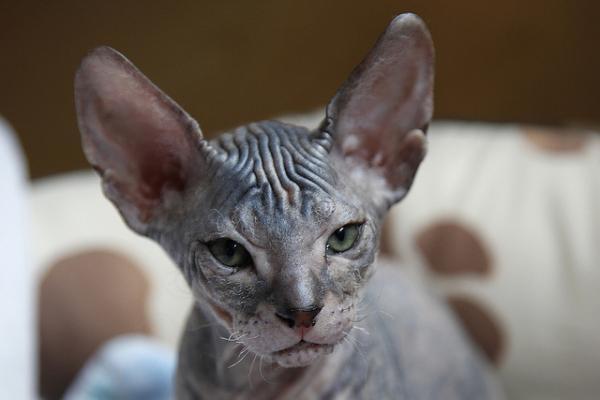 Лысые кошки: особенности содержания, фото, уход - Это интересно