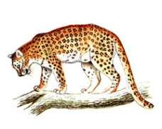 Леопард – Красная книга – кратко описание, фото