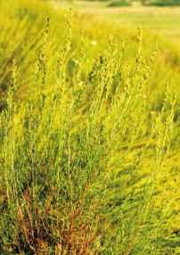 Полынь солянковидная – Красная книга – кратко описание, фото