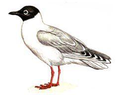 Китайская чайка - Красная книга - кратко описание, фото