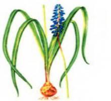 Мускари голубой, ложномускари голубой – Красная книга – кратко описание, фото