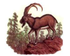 Безоаровый козел – Красная книга – кратко описание, фото