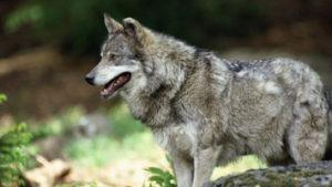Волк - краткое описание и фото - для детей