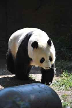 Панда – Красная книга МСОП – кратко описание, фото