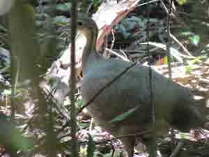 Охристоголовый тинаму – Красная книга МСОП – кратко описание, фото