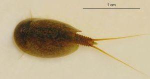 Комплекс водных ракообразных, обитающих в поймах – Красная книга МО – кратко описание, фото