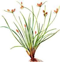 Фимбристилис охотский – Красная книга – кратко описание, фото