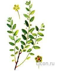 Лептопус колхидский – Красная книга – кратко описание, фото