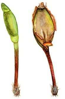 Буксбаумия зеленая – Красная книга – кратко описание, фото