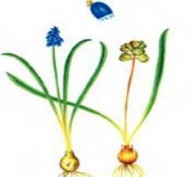 Мускари длинноцветковый – Красная книга – кратко описание, фото