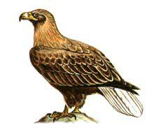 Орлан-белохвост - Красная книга - кратко описание, фото