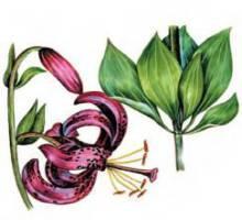 Лилия кавказская – Красная книга – кратко описание, фото
