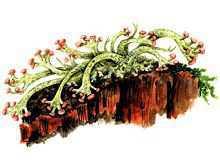 Кладония зольная – Красная книга – кратко описание, фото