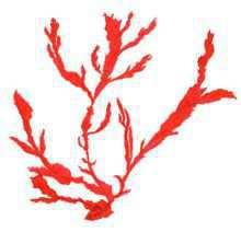 Токидея пильчатая – Красная книга – кратко описание, фото