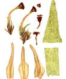 Зелигерия эландская – Красная книга – кратко описание, фото
