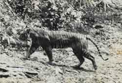 Яванский тигр – Красная книга МСОП – кратко описание, фото
