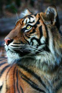 Тигр - краткое описание и фото - для детей