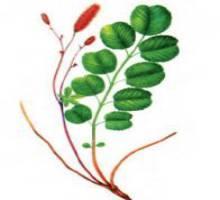Кровохлебка великолепная – Красная книга – кратко описание, фото