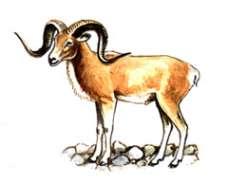 Алтайский горный баран – Красная книга – кратко описание, фото