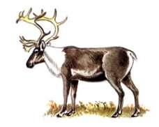 Северный олень, новоземельский подвид – Красная книга – кратко описание, фото