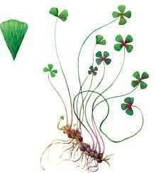 Марсилия щетинистая – Красная книга – кратко описание, фото