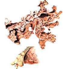 Лобария сетчатая – Красная книга – кратко описание, фото