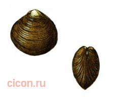 Приморская корбикула – Красная книга – кратко описание, фото