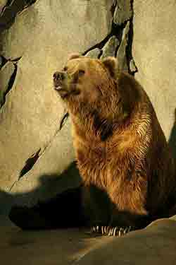 Канадский гризли – Красная книга МСОП – кратко описание, фото