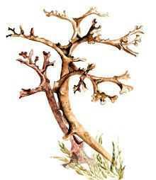 Цетрария камчатская – Красная книга – кратко описание, фото