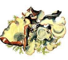 Цетрелия аляскинская – Красная книга – кратко описание, фото