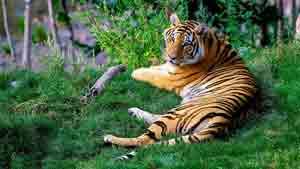 Бенгальский тигр – Красная книга МСОП – кратко описание, фото