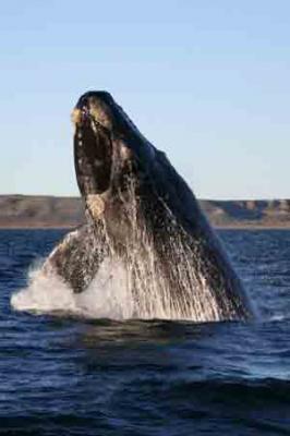 Южный кит – Красная книга МСОП – кратко описание, фото