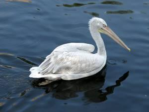 Кудрявый пеликан – Красная книга – кратко описание, фото